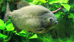 The red-bellied piranha or red piranha Footage