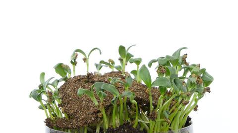 Growing and rotating alfalfa vegetables, UHD 4K fo Footage