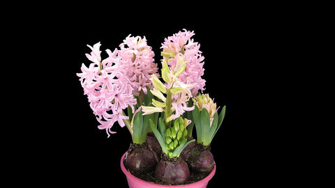 Time-lapse of growing pink hyacinth Christmas flow Footage