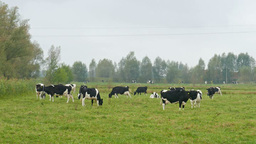 Dairy Cows On A Pasture In A Misty Day stock footage