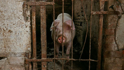Pig Behind Bars In A Dingy Pigpen stock footage