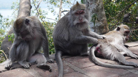 Three Funny Monkeys stock footage