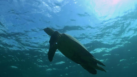 Hawksbill Turtle Swims To The Surface stock footage