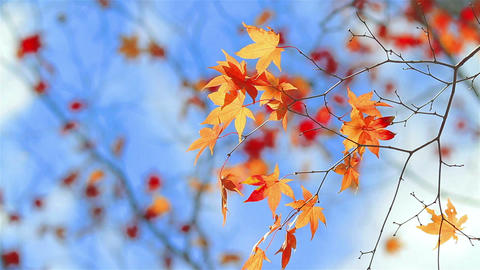 Autumn colorful foliage on a background of blue sk Footage