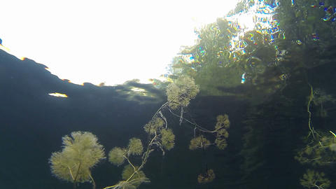 Close-up shot of Pond Water-crowfoot aquatic plant Footage
