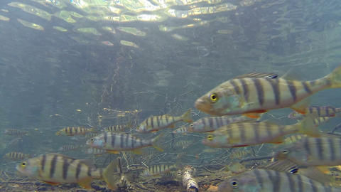 Large school of perch swimming in shallow water Footage