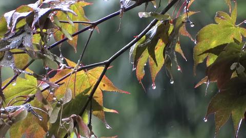 Autumn Rain - Maple Trees - 6 Footage