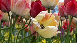 Tulip Flowers - 10 - Close Blooming Blossoms stock footage