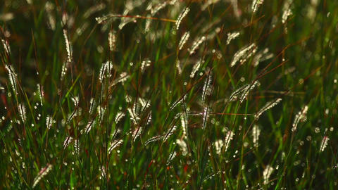 Grass spikelets Footage