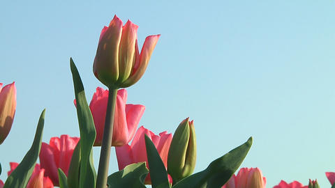 Pink tulips Footage
