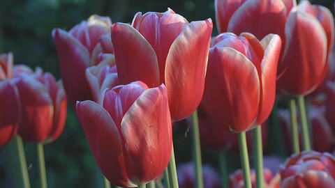 Red and white tulips Stock Video Footage