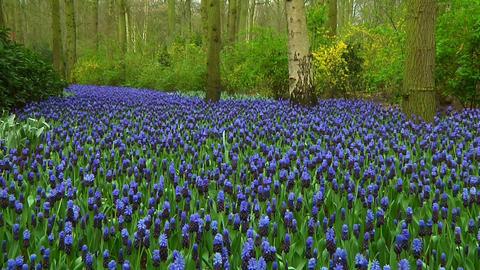 Grape hyacinths Stock Video Footage