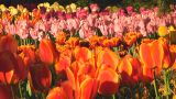 Mixed Tulips stock footage