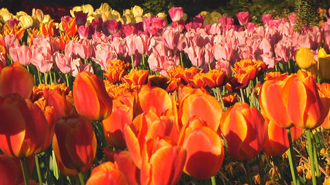 Mixed tulips Footage