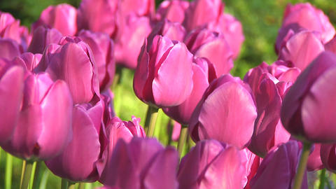 Purple tulips Footage