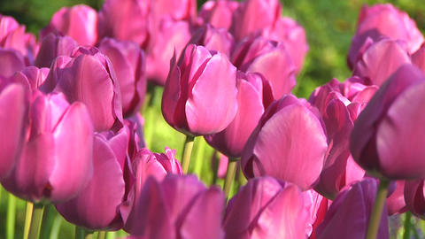 Purple tulips Stock Video Footage