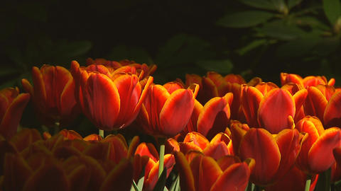 Red and yellow tulips Stock Video Footage