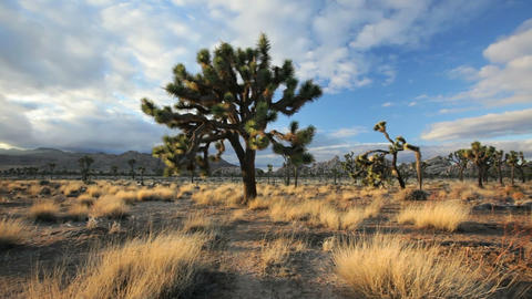 Joshua Tree Stock Video Footage