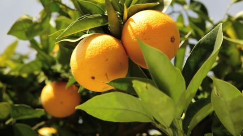 Oranges Stock Video Footage
