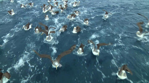 Salvin's albatross Footage