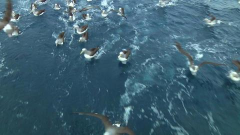 Salvin's albatross Stock Video Footage
