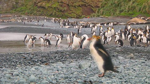 Royal penguin Stock Video Footage