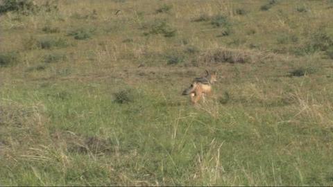 Black-backed jackal feeding Stock Video Footage