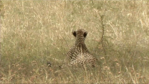 Cheetah resting Stock Video Footage