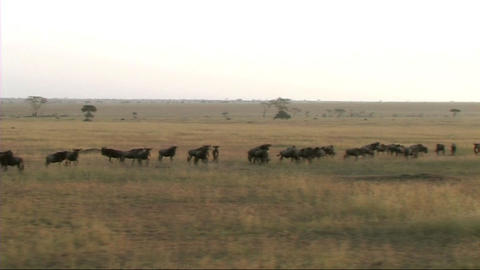 Migration of wildebeest Stock Video Footage