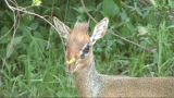 Close-up Of A Dik Dik stock footage