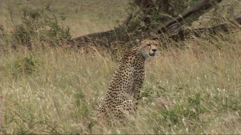 Cheetah sitting Live Action