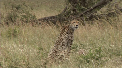 Cheetah sitting Stock Video Footage