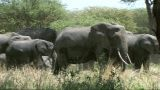 Elephant Family Feeding stock footage