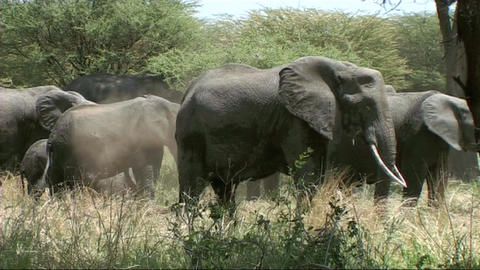 Elephant family feeding Footage