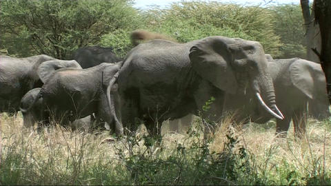 Elephant family feeding Stock Video Footage