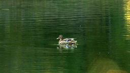 wild duck 7 Stock Video Footage