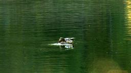 wild duck 7 Footage