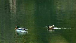 wild duck 9 Stock Video Footage