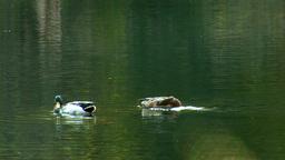 wild duck 9 Footage