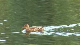 wild duck 11 Stock Video Footage