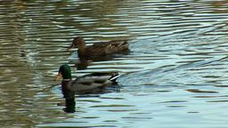 wild duck 11 Footage