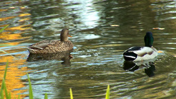 wild duck 13 Stock Video Footage
