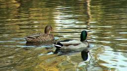 wild duck 13 Footage