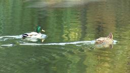 wild duck 15 Stock Video Footage