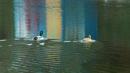 wild duck 15 Footage