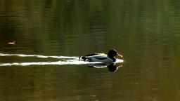 wild duck 17 Stock Video Footage