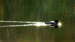 wild duck 17 Footage
