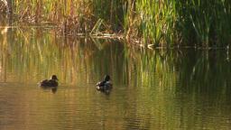 wild duck 19 Stock Video Footage