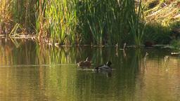 wild duck 19 Footage