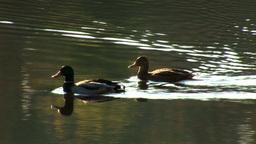 wild duck 21 Stock Video Footage